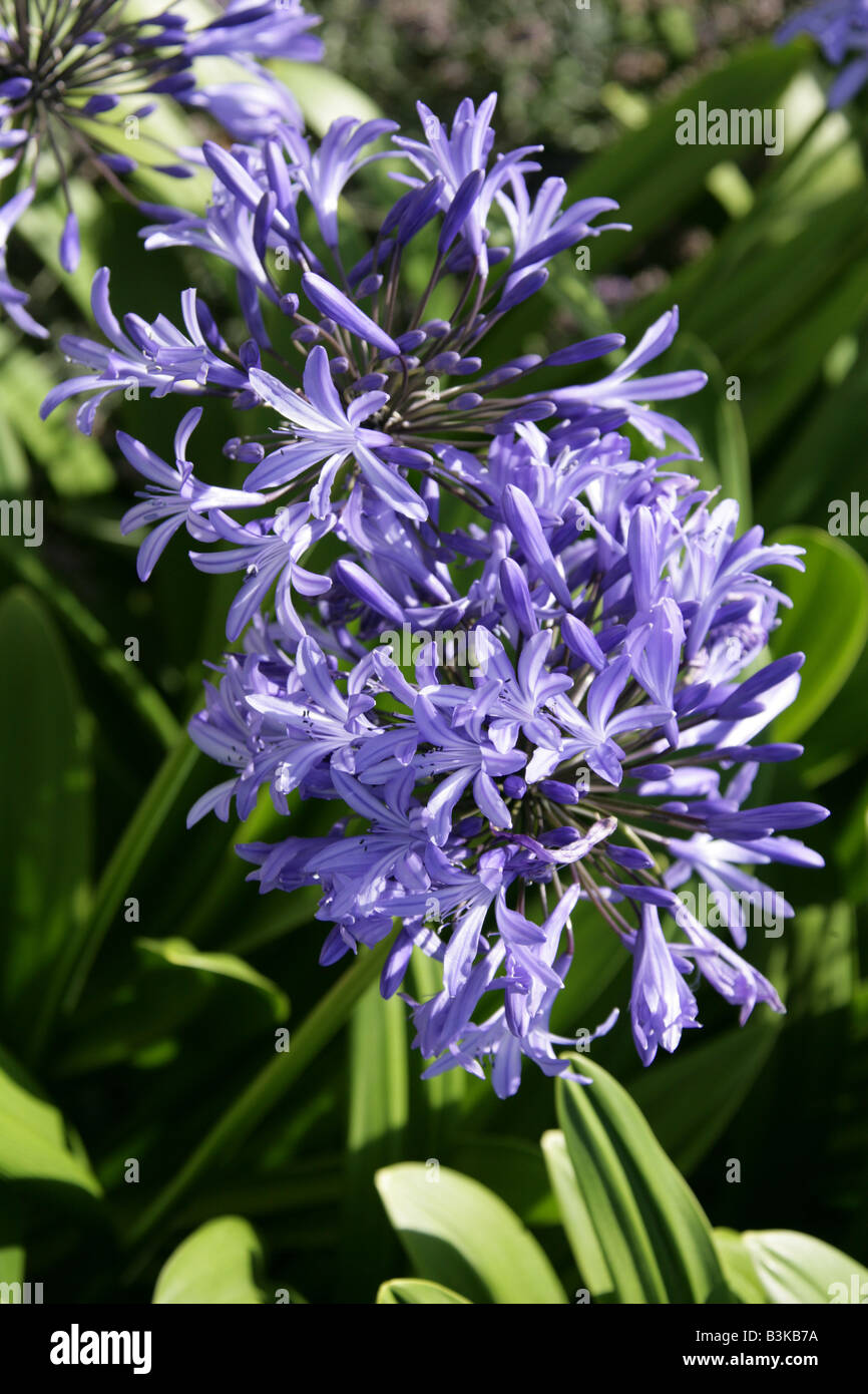 African Lily Agapanthus africanus - Stock Image
