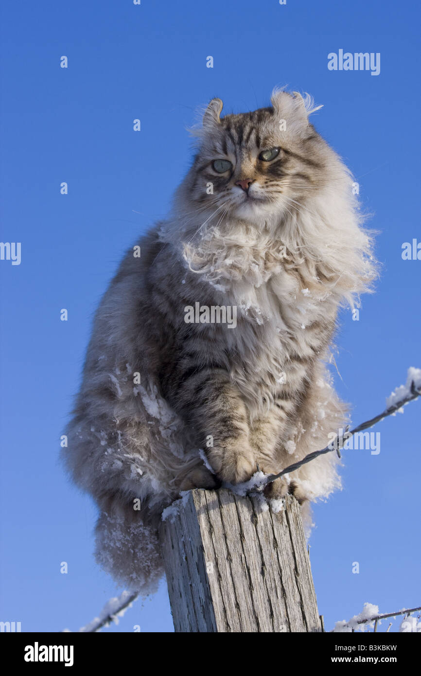 Highlander cat in winter snow sitting on fence post against blue sky - Stock Image