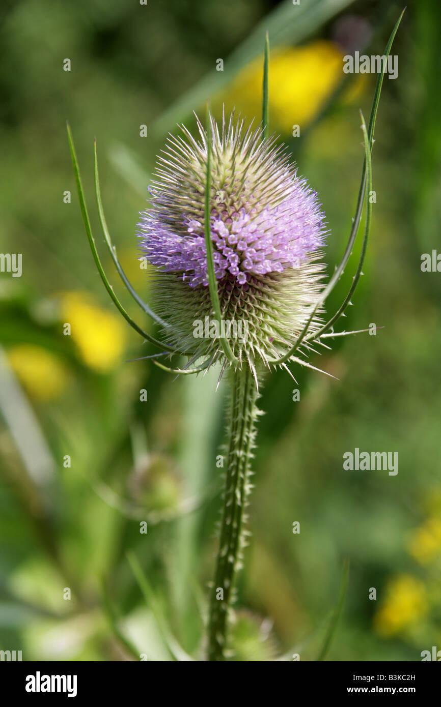 Teasel Dipsacus fullonum Dipsacaceae - Stock Image