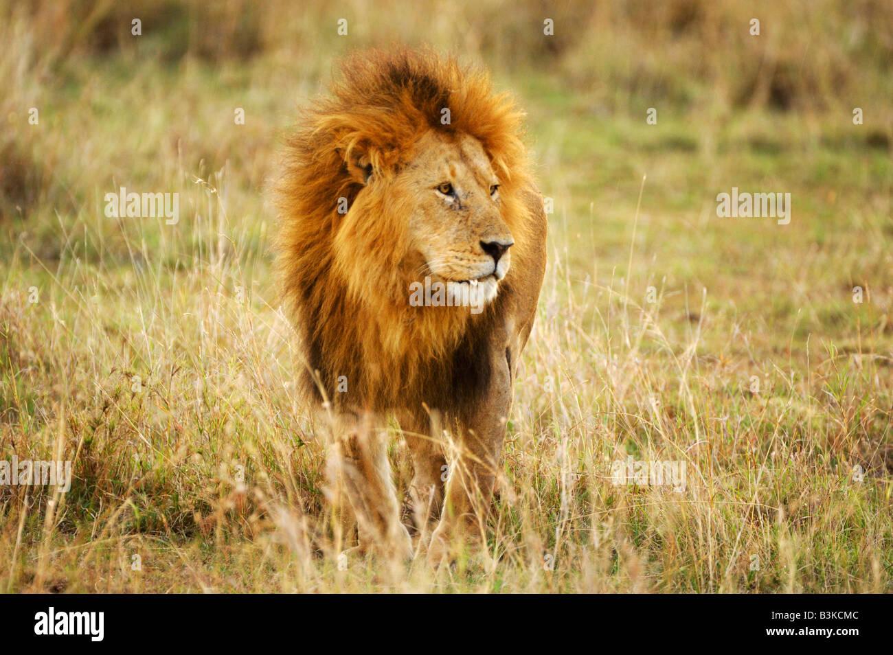 African Lion Panthera leo male Masai Mara Kenya Africa - Stock Image