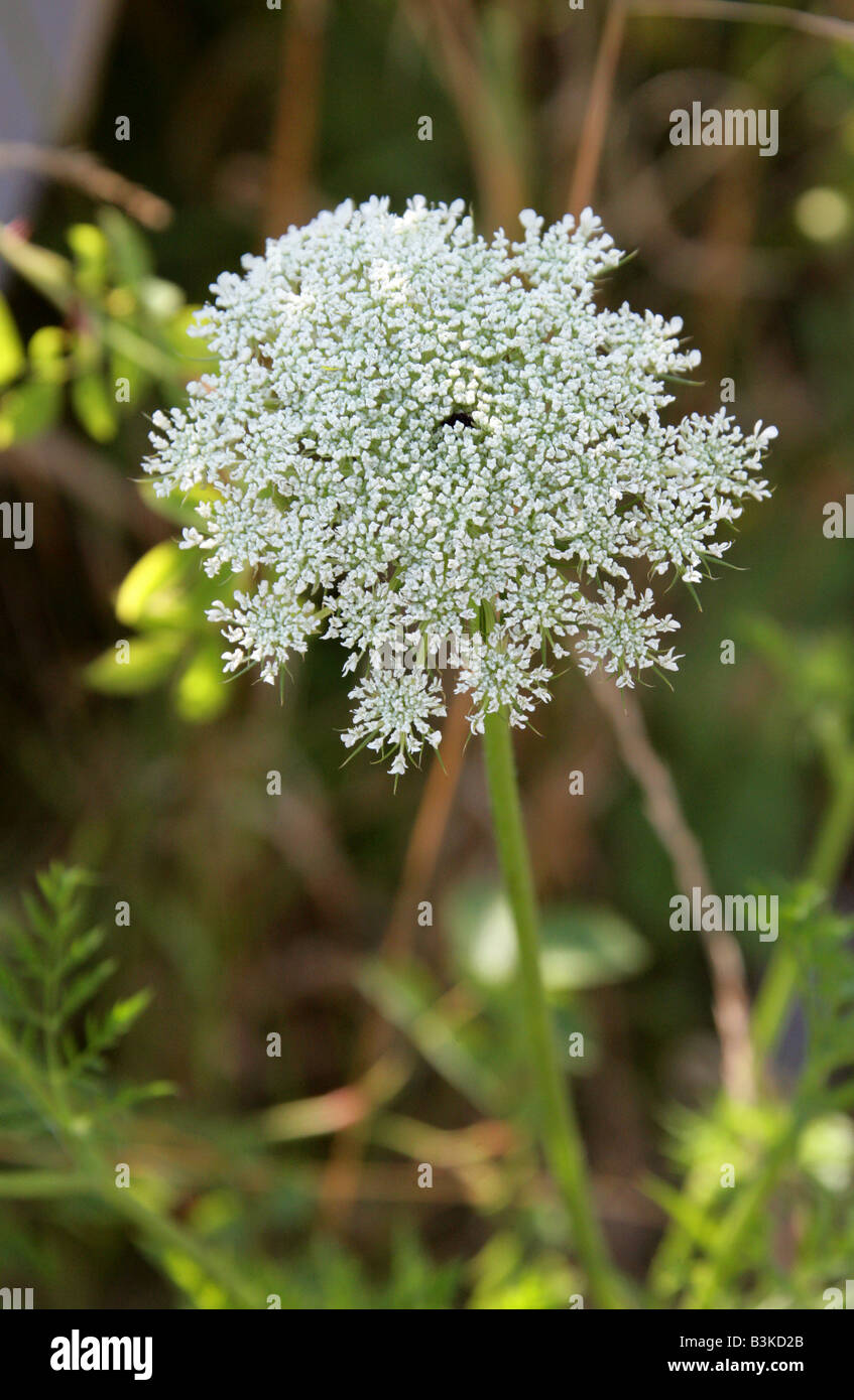 Wild Carrot aka Bishop's Lace or Queen Anne's Lace Daucus carota Stock Photo