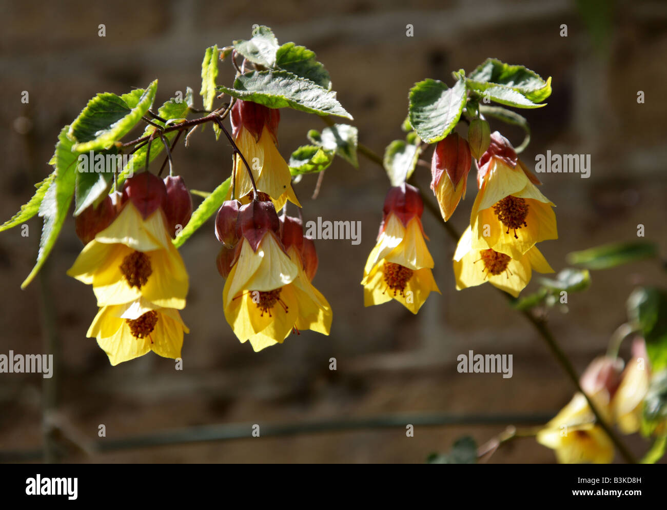 Trailing Abutilon aka Chinese Bell Flower, Chinese Lantern, Mallow, Indian Mallow, and Flowering Maple, Abutilon - Stock Image