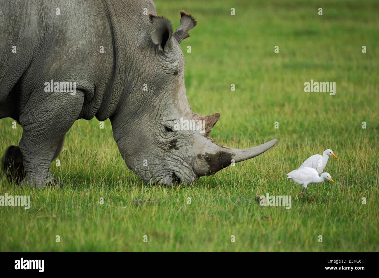 Black Rhinoceros Diceros bicornis adult feeding among Cattle Egret Bubulcus ibis Lake Nakuru Kenya Africa - Stock Image