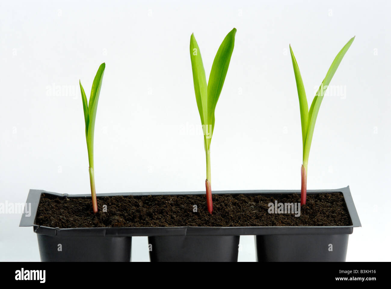 Corn Zea mays seedlings in flats The plants are 1-2 weeks old - Stock Image