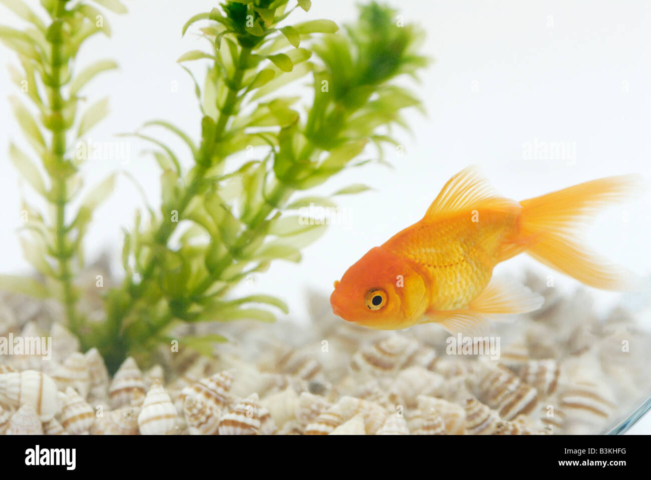 A fantailed goldfish Carassius auratus living in a bowl with an aquatic plant Elodea Stock Photo