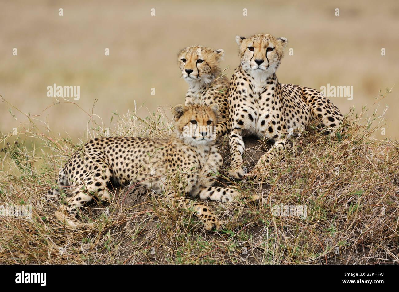Cheetah Acinonyx jubatus female and young sitting on hill Masai Mara Kenya Africa - Stock Image