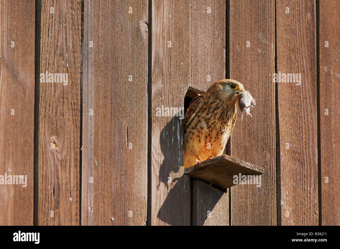 Common Kestrel Falco tinnunculus adult with mouse prey Switzerland - Stock Image