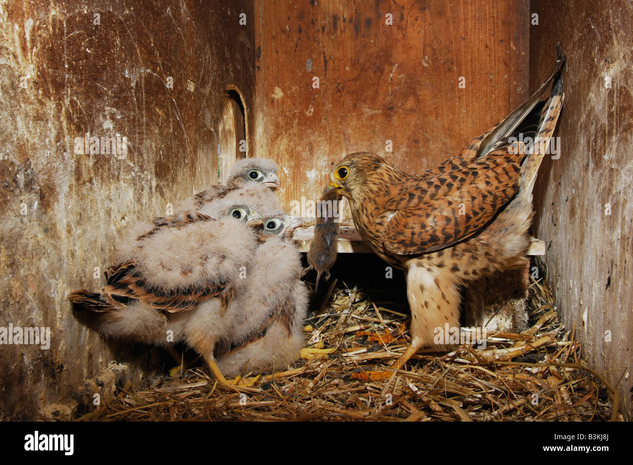 Common Kestrel Falco tinnunculus adult feeding young with mouse prey Switzerland - Stock Image