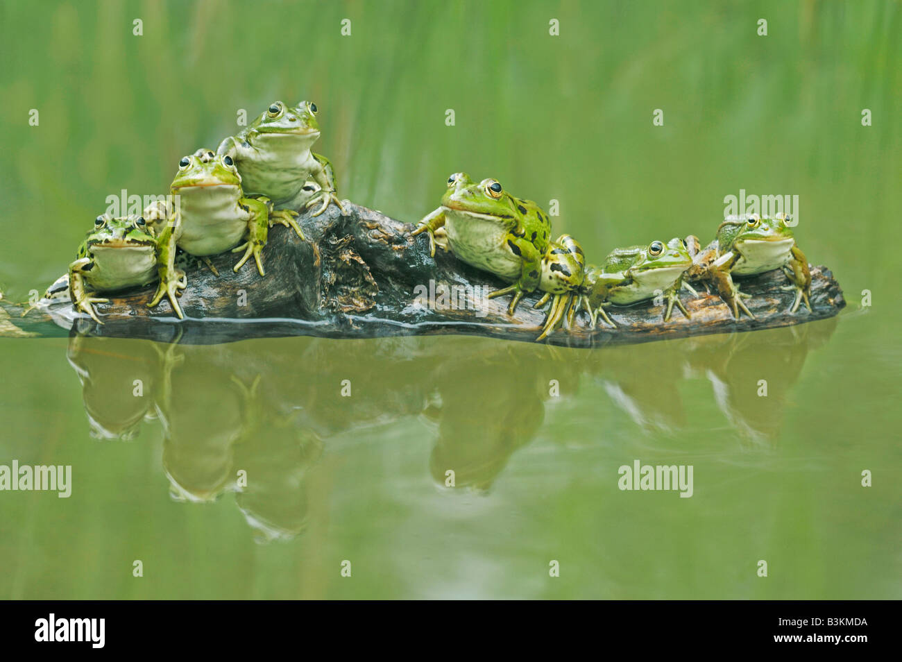 Edible Frog Rana esculenta adults on log Switzerland - Stock Image