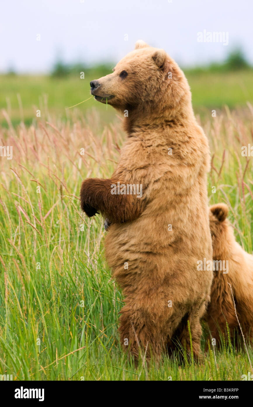 A Grizzly Bear sow with cub Lake Clark National Park Alaska - Stock Image