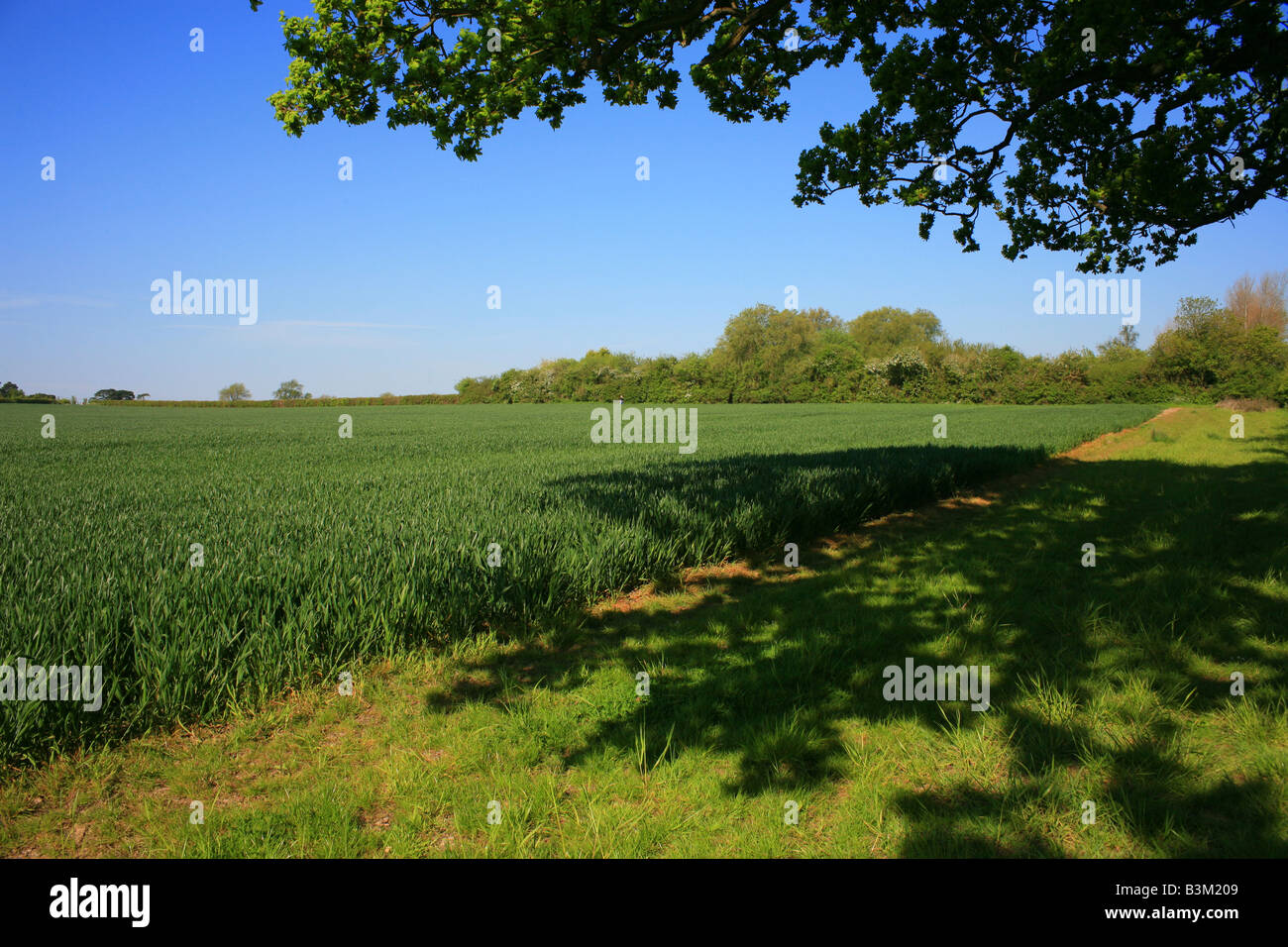 Kentish field in early summer with lower branches of oak tree and it's shaddow, Brabourne Lees, Ashford, Kent, England, Stock Photo