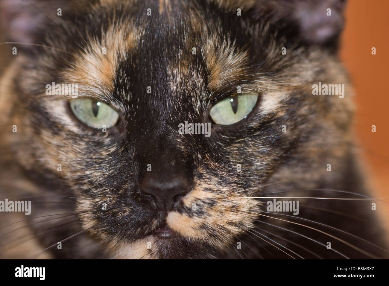Close up of female Tortoiseshell or Brindle cat looking directly at the camera - Stock Image