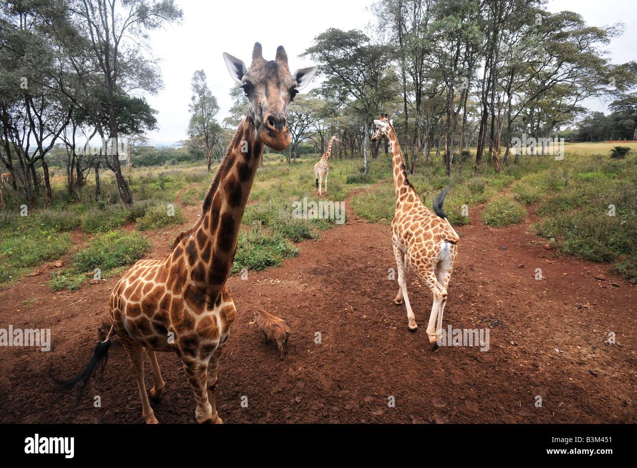 Rothschild giraffe at the Giraffe Centre in Langata Nairobi Kenya 30 6 2008 - Stock Image