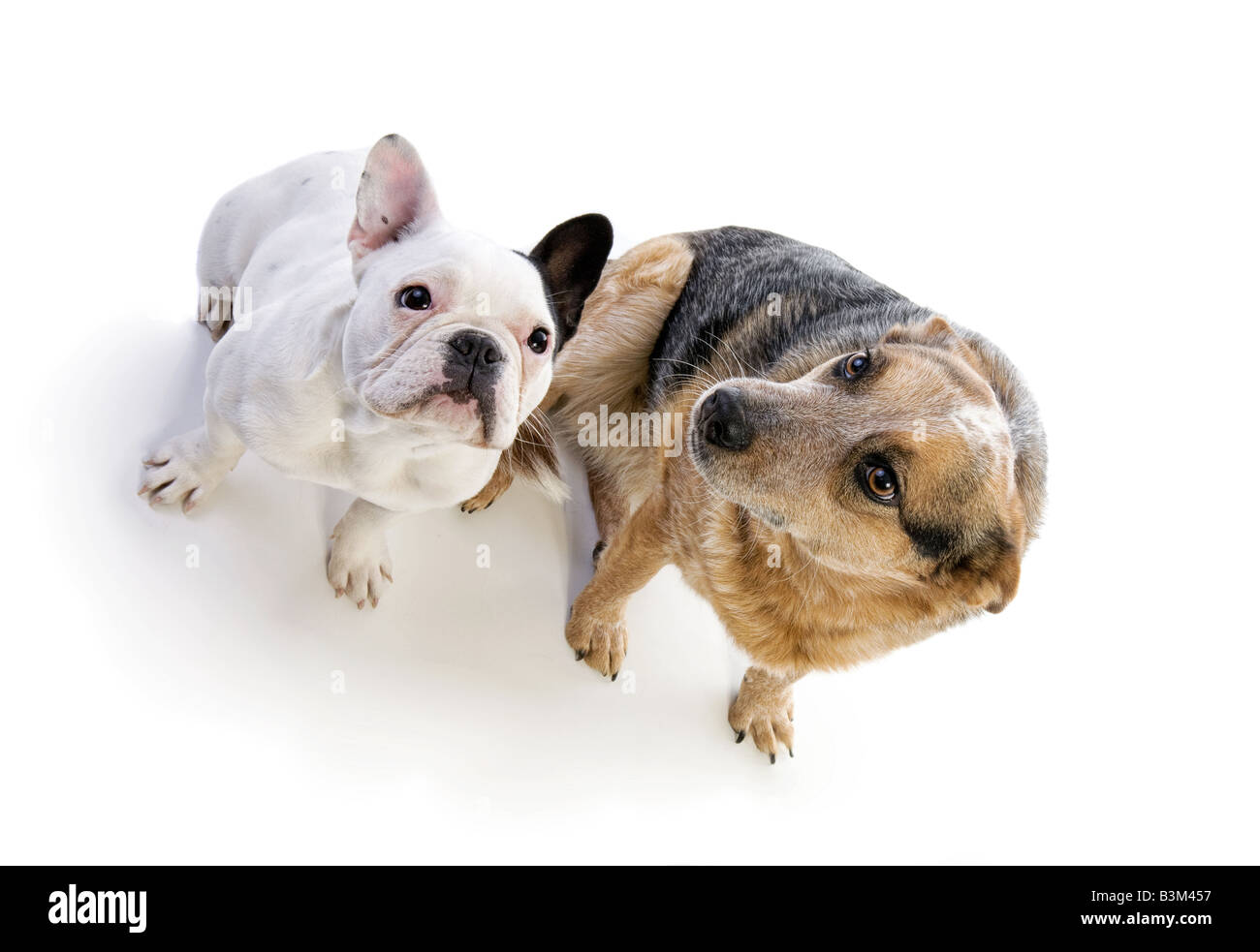 Black and white French bulldog and Australian Cattle Dog sittling