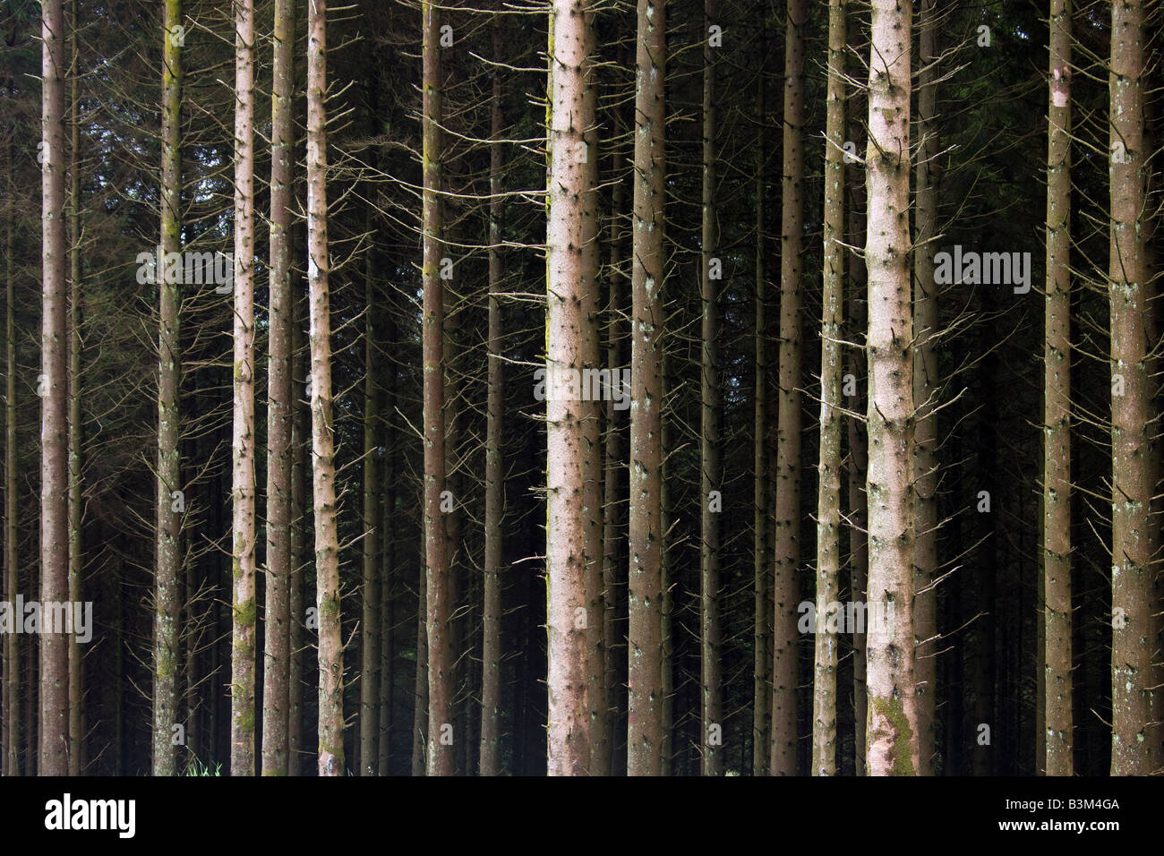 Pine trees in a coniferous forest in the north of Scotland - Stock Image