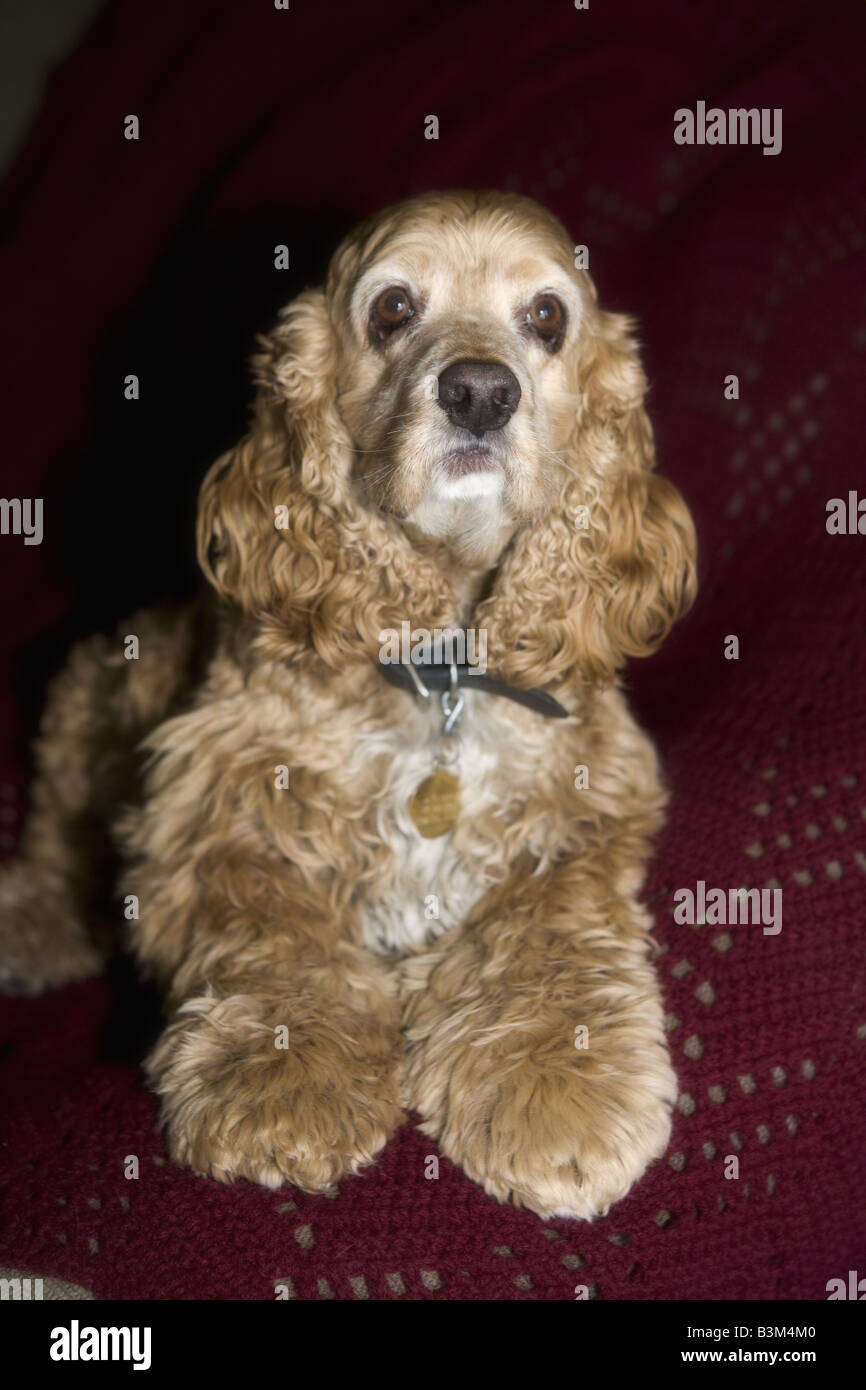 Cocker Spaniel dog in soft focus on red - Stock Image