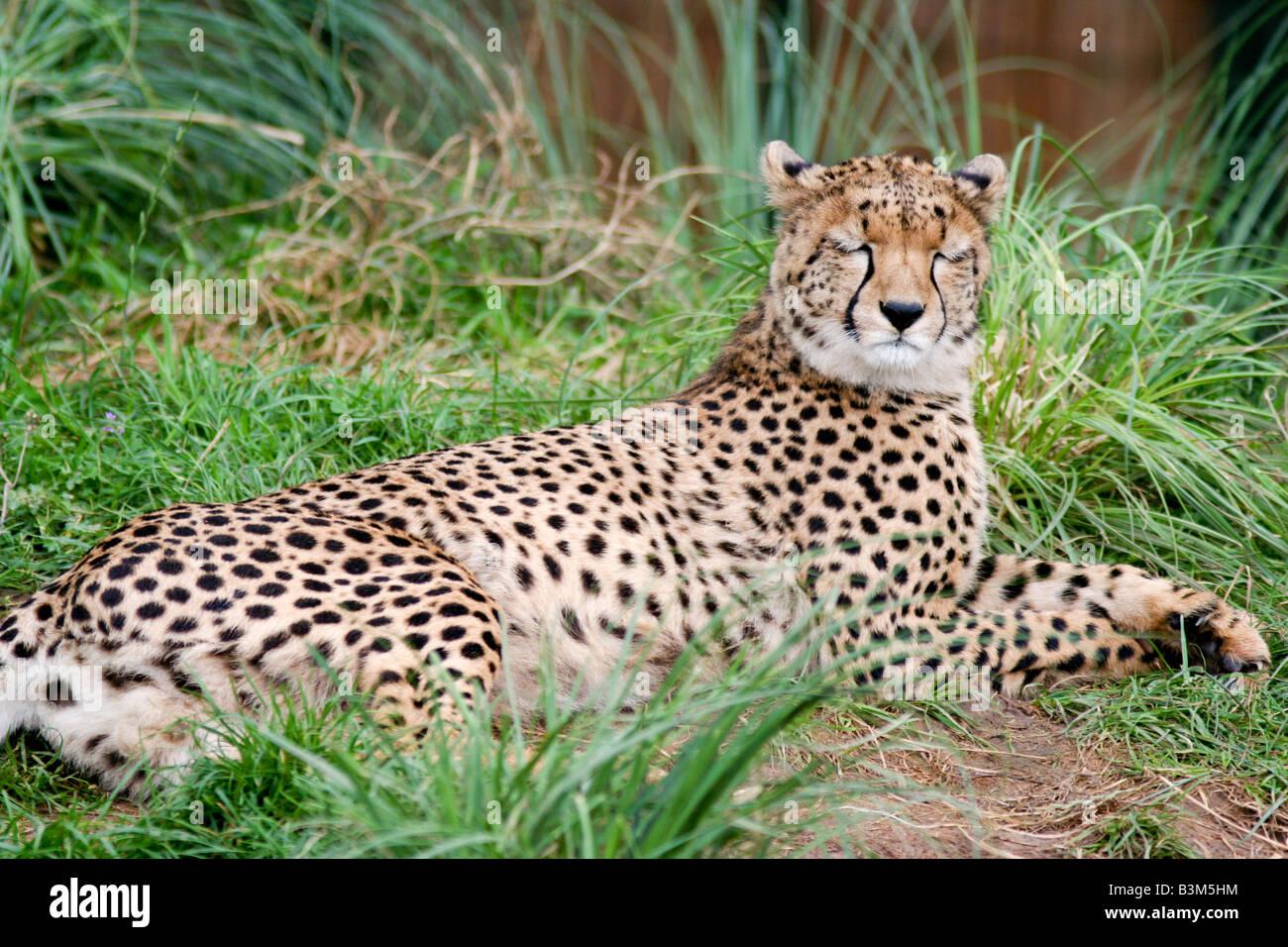 cheetah sleeping stock photos cheetah sleeping stock images alamy