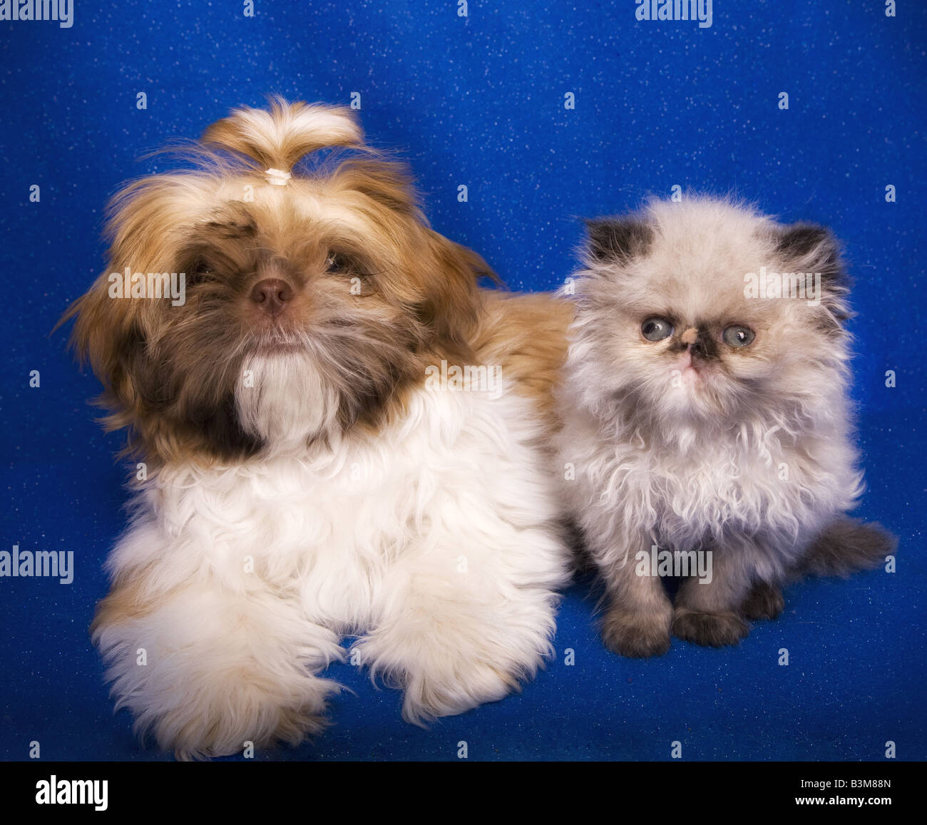 Cute Shih Tzu puppy with Himalayan kitten on blue background - Stock Image