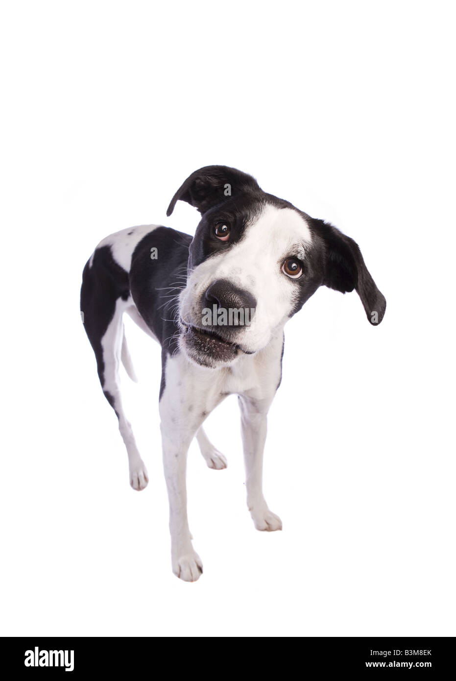Smiling Black and white Great Dane mix dog isolated on white background - Stock Image