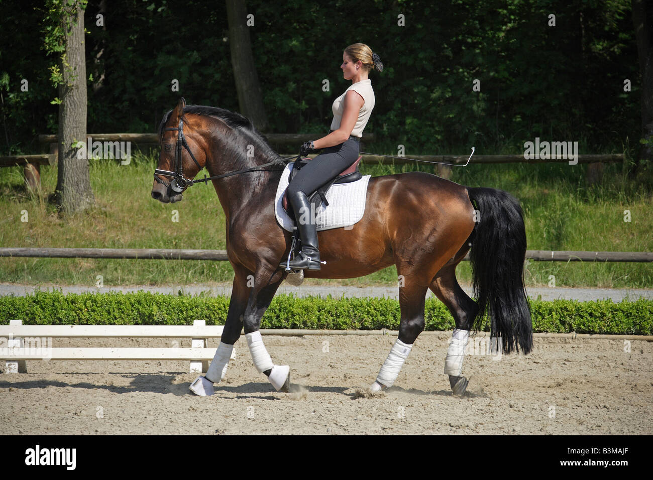 Oldenburg Horse with horsewoman - rein-back - Stock Image