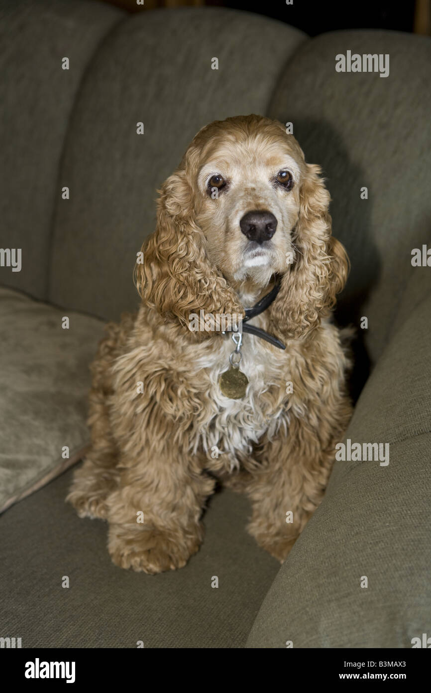 Cocker Spaniel dog indoors on couch - Stock Image