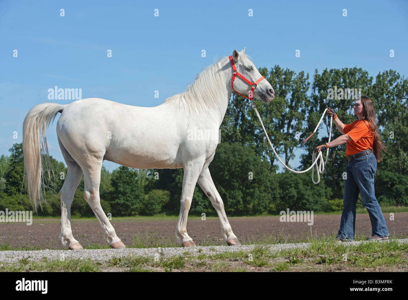 Tiger Horse with woman - rein-back Stock Photo