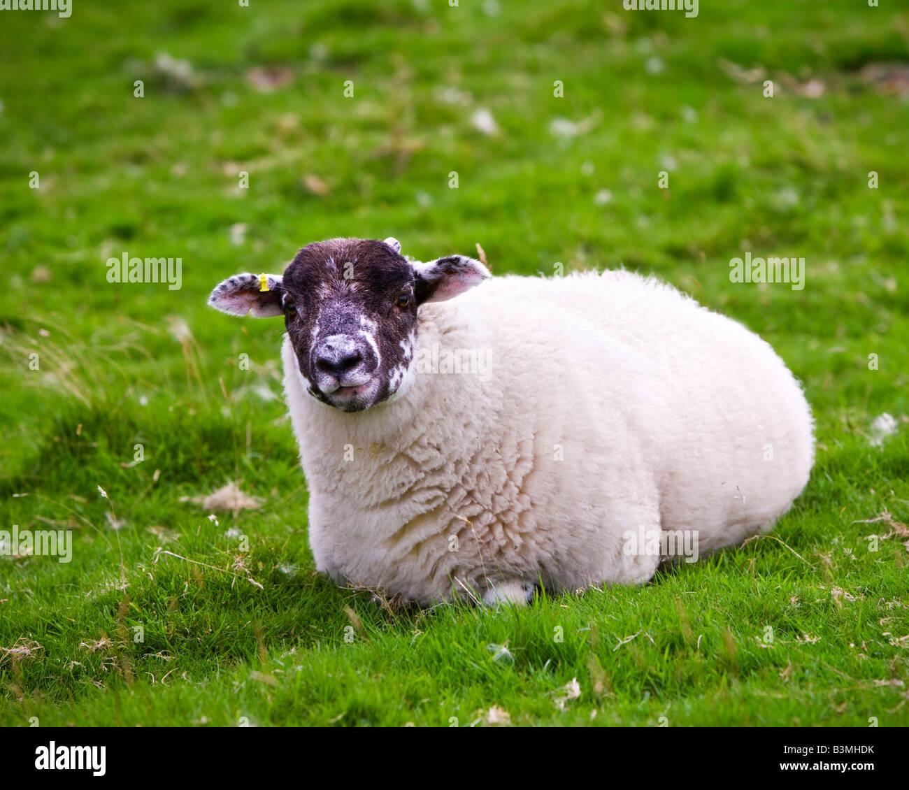 Young Swaledale yearling ewe lying on grass Cumbria England UK - Stock Image