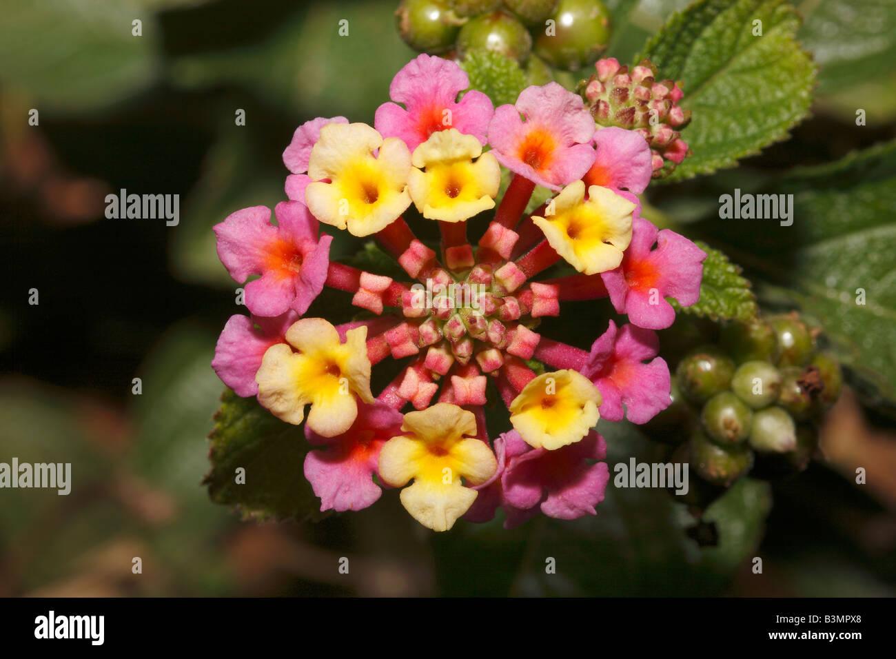Lantana camara Verbenaceae family Stock Photo