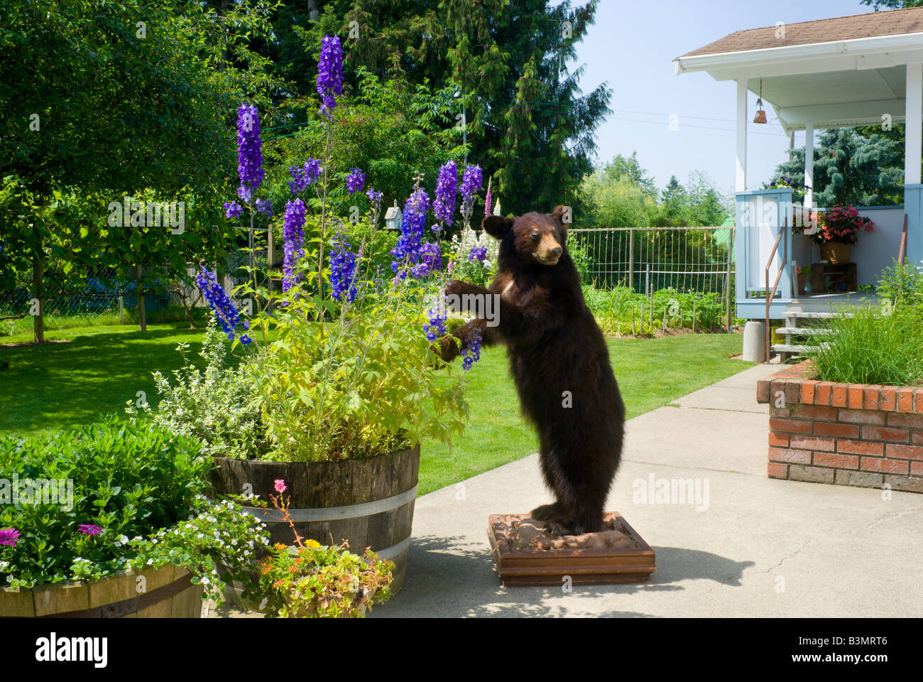 A stuffed cinnamon colored black bear trophy Ursus americanus stands in a residential backyard - Stock Image