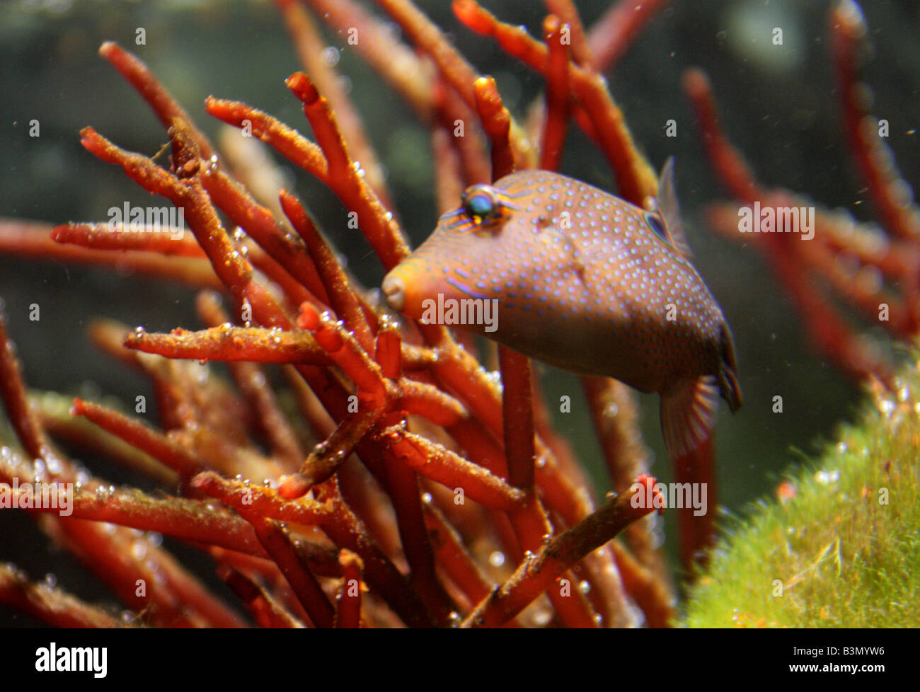 Blue Spotted Puffer Fish Stock Photos & Blue Spotted Puffer Fish ...