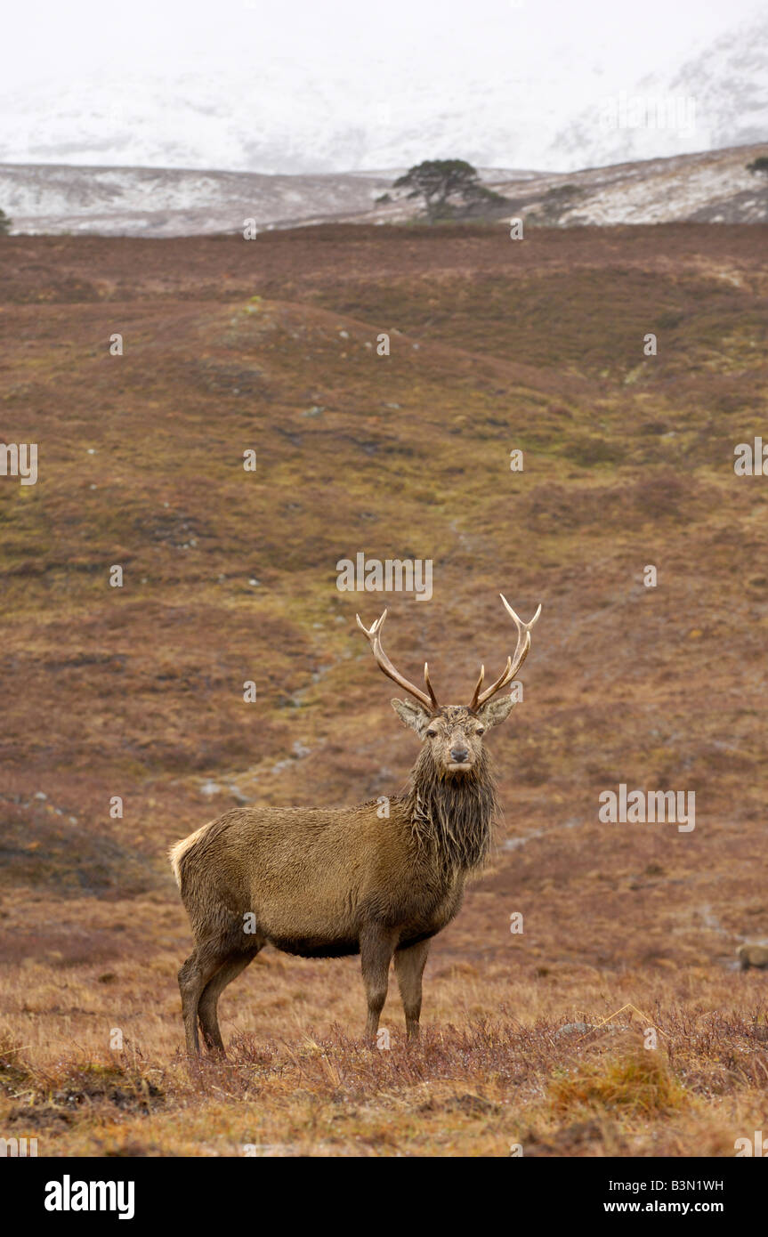 Red Deer stag in the Highlands, Glen Lyon, Perth and Kinross, Scotland - Stock Image