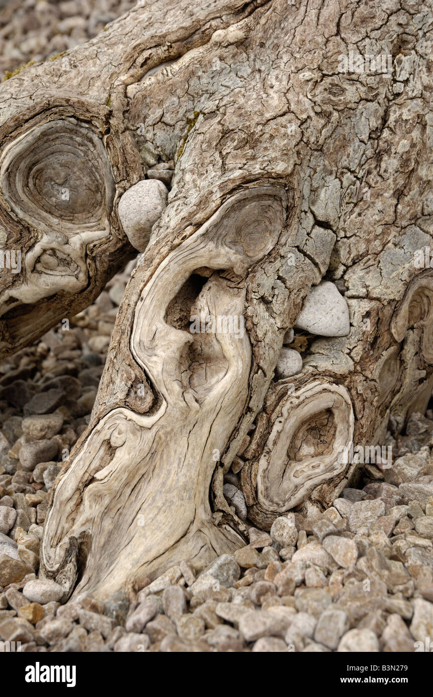 Knarled tree roots and pebbles - Stock Image