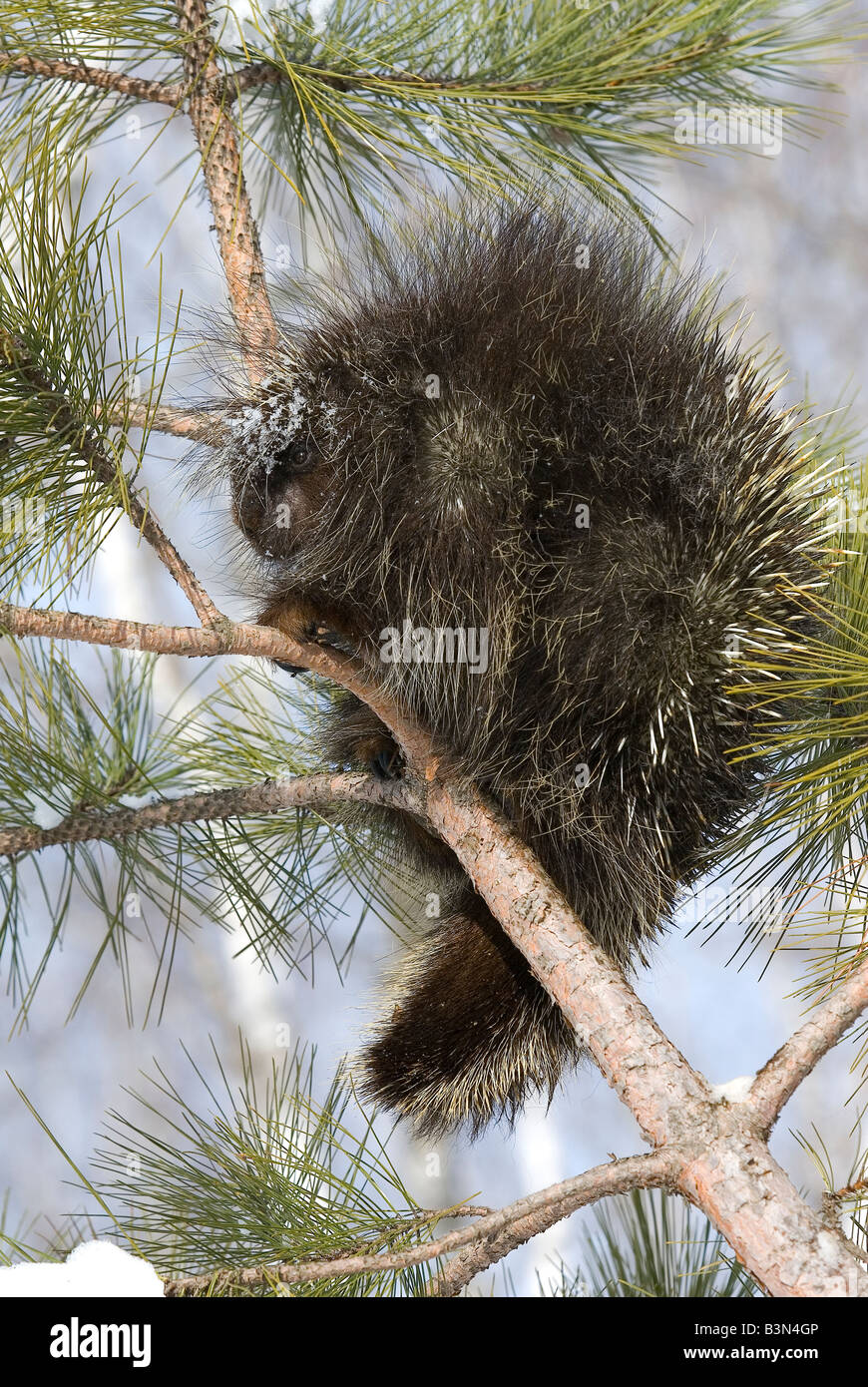 Porcupine Erethizon dorsatum in Pine Tree North America Stock Photo