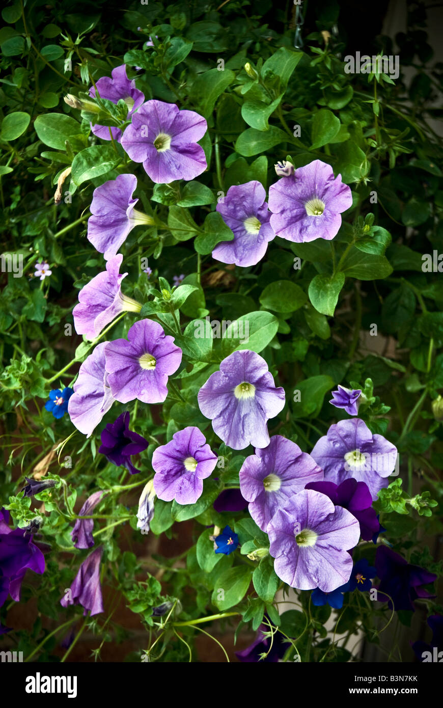 Petunia is a trumpet shaped flower of South American origin - Stock Image