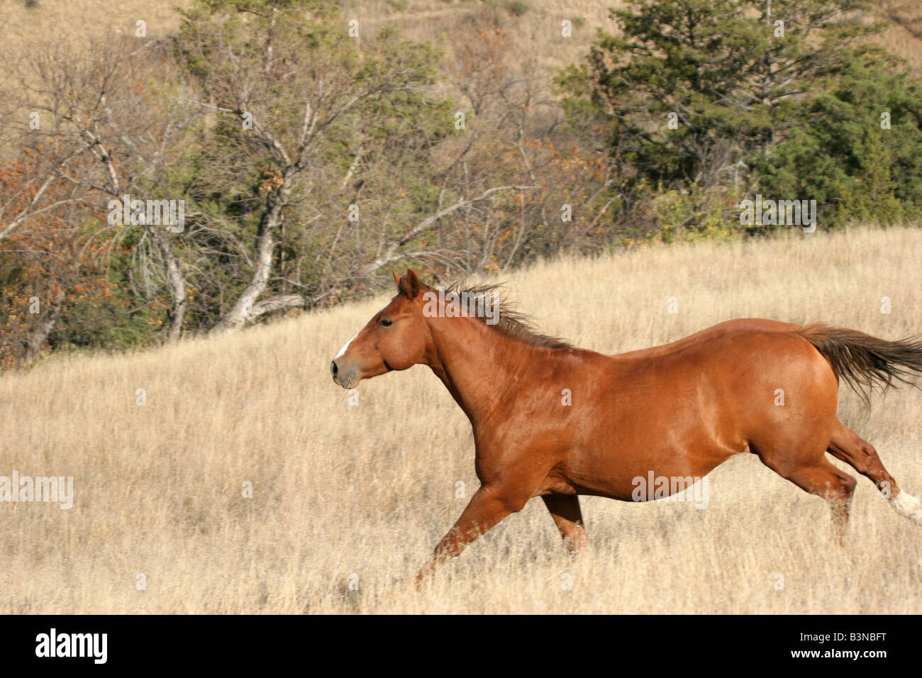 Indian Horse High Resolution Stock Photography And Images Alamy