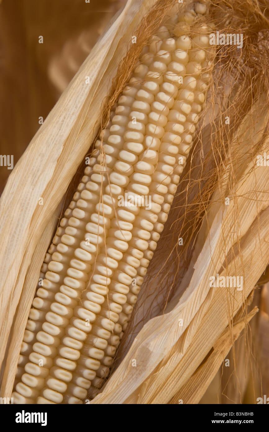 Dry Ear of Corn in husk. - Stock Image