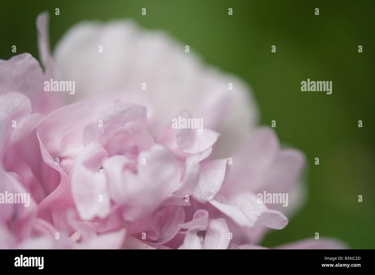 Pink  Eustoma - Stock Image