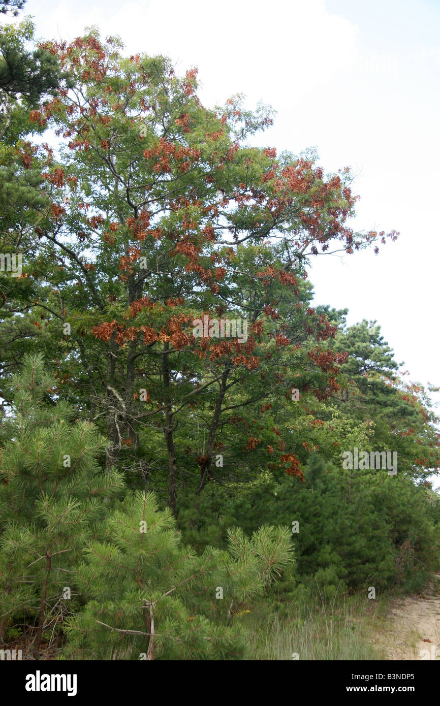 Tree damage in red oak due to the Brood XIV cicadas in Falmouth, Massachusetts. - Stock Image