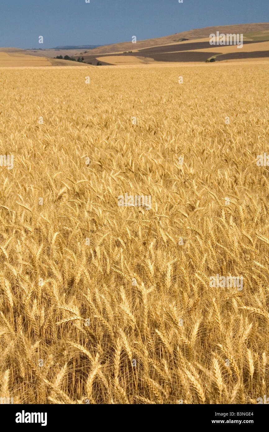 Field of ripe wheat near Milton Freewater Oregon - Stock Image