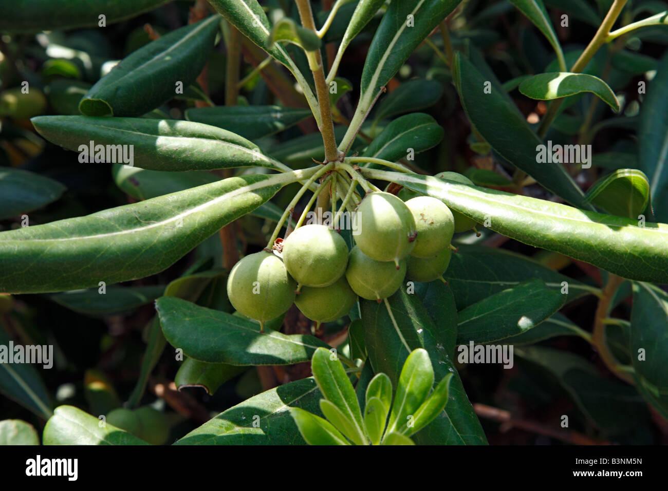 Natur, Pflanzen, Oelbaumgewaechse, Oleaceae, Oelbaum, Olea, Echter Oelbaum, Oliven am Olivenbaum, Olea europaea Stock Photo