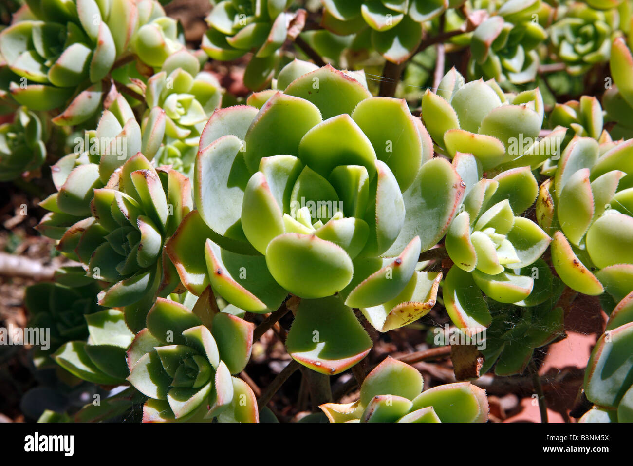 Natur, Pflanzen, Dickblattgewaechse, Crassulaceae, Hauswurze, Sempervivum - Stock Image