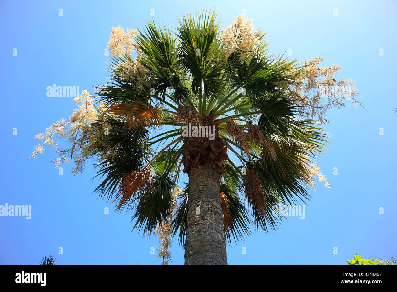 Natur, Pflanzen, Palme, Hanfpalme, Trachycarpus, Kalabrien, Italien, Europa - Stock Image