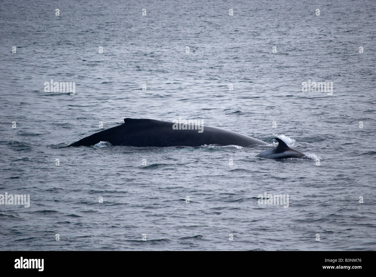 Humpback Whale (Megaptera novaeangliae) and White-beaked Dolphin (Lagenorhynchus albirostris), Faxafloi Bay, Iceland - Stock Image