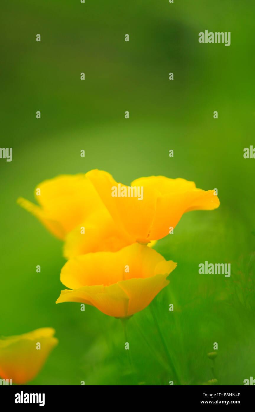 Californian Poppy (Eschscholzia california) Stock Photo