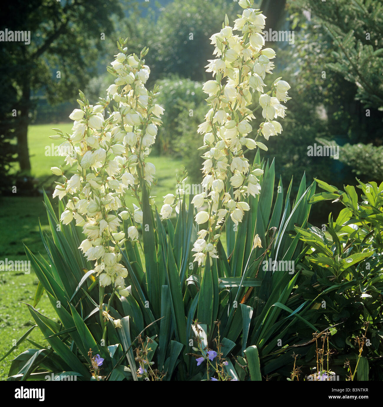 Needle Flower High Resolution Stock Photography And Images Alamy