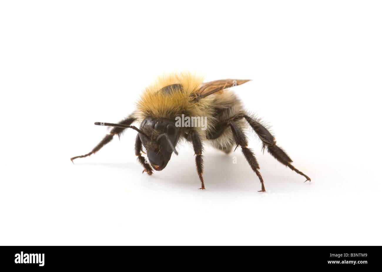 Studio shot of a Honey Bee, Apis mellifera. - Stock Image