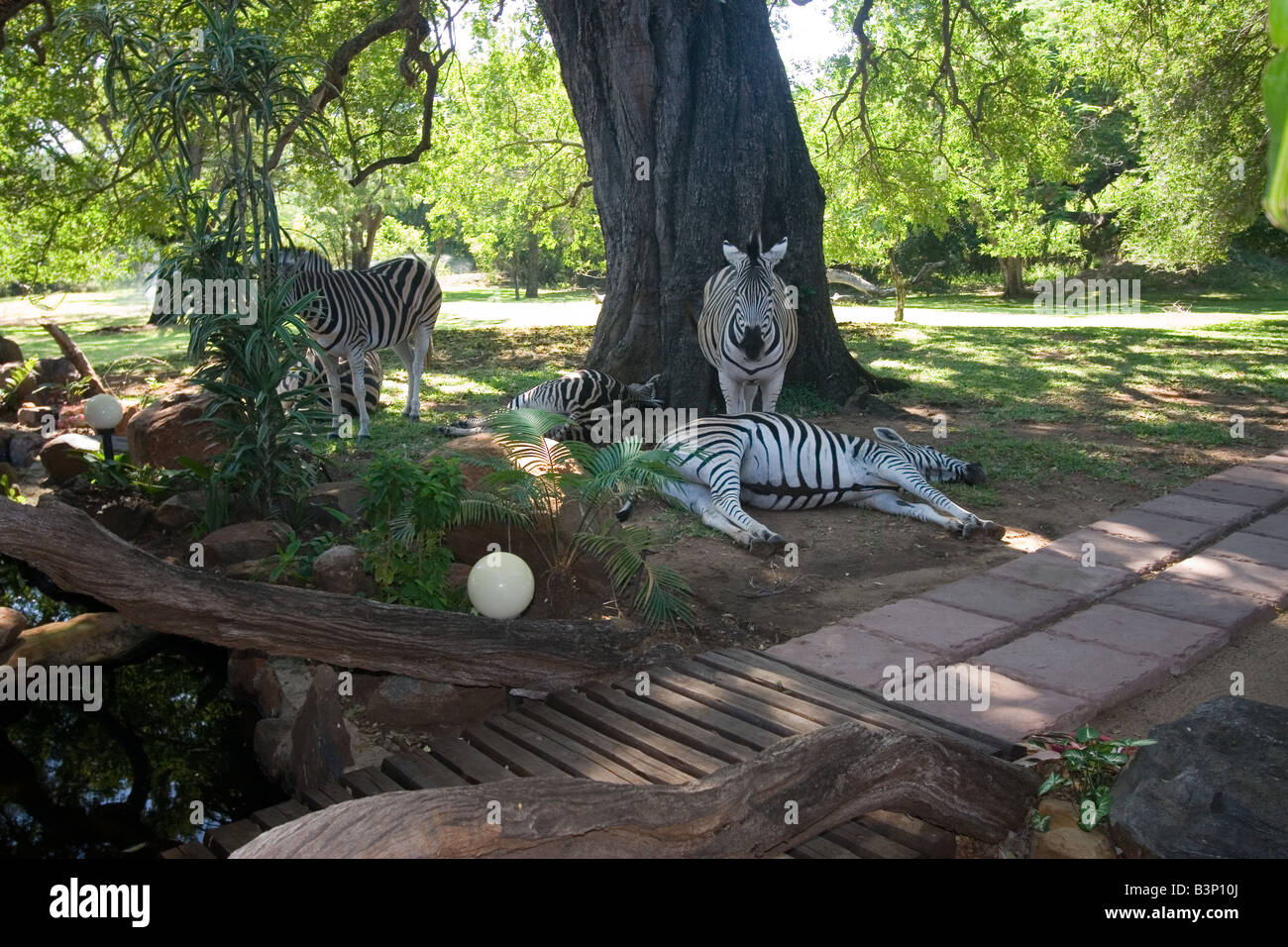 Tame Zebras laze around in the gardens of the Blyde River Canyon Lodge, near Hoedspruit along South Africa's - Stock Image