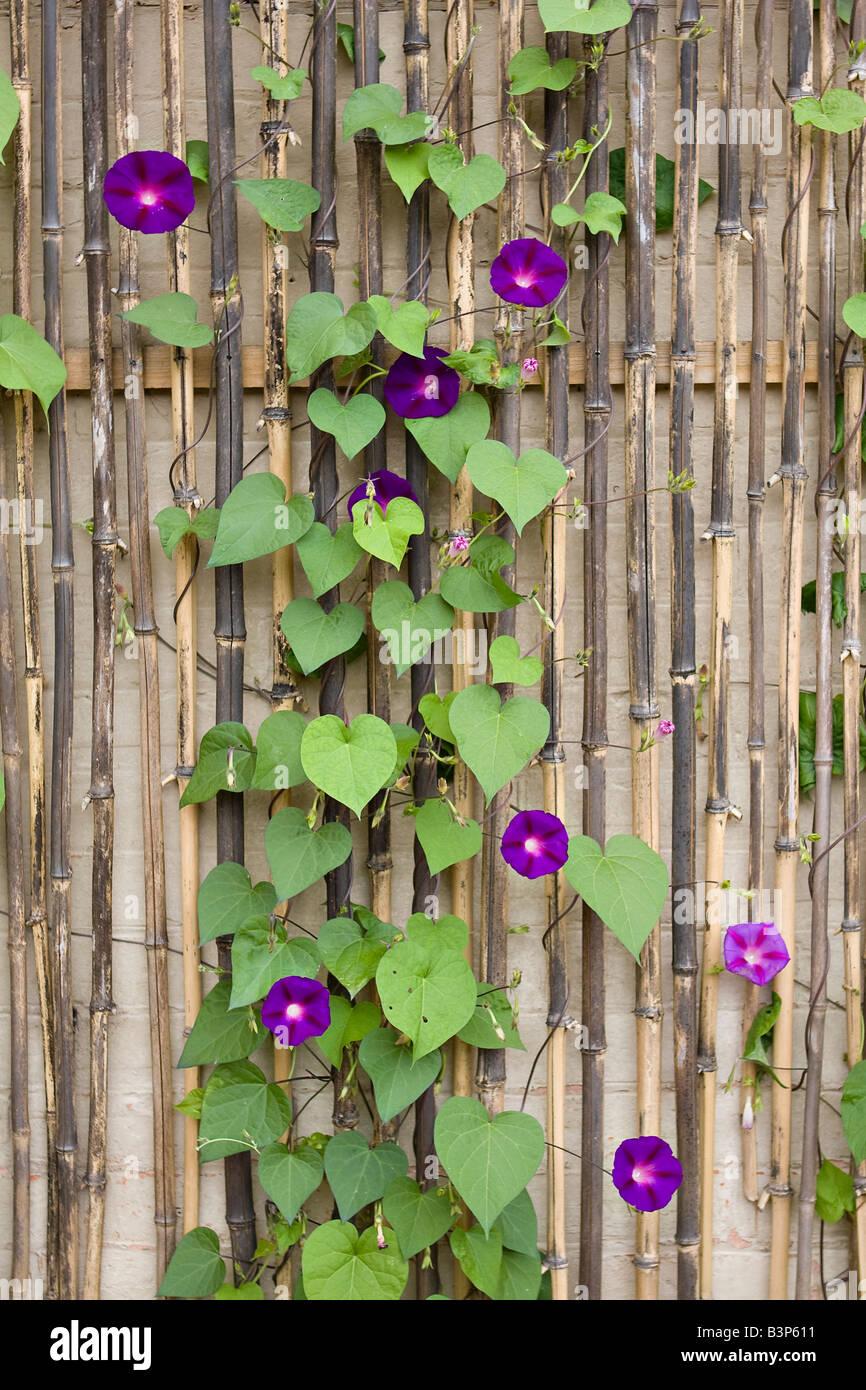 Morning Glory climbing up bamboo trellis - Stock Image