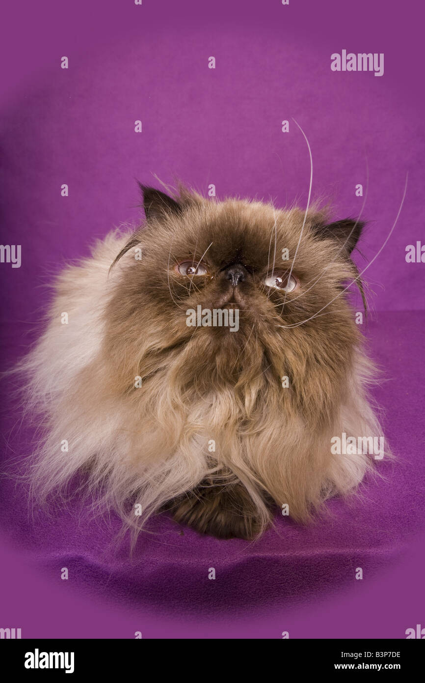 Himalayan cat on purple background - Stock Image
