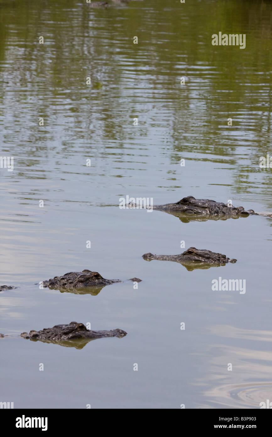 Four submerged alligators in Florida Everglades, USA - Stock Image